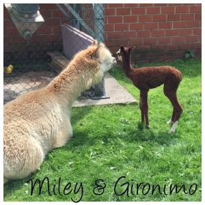 Miley-Gironimo